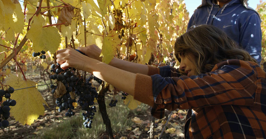 deborah harvesting wine grapes