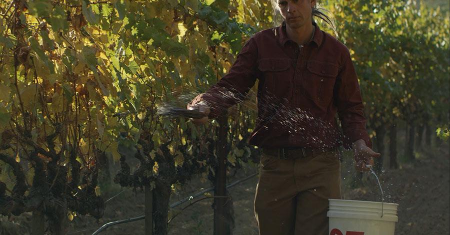 misting the grape vines